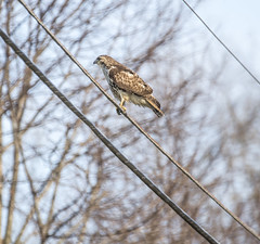 germantownhawk_02 (AgeOwns.com) Tags: hawk raptor mongtomery county maryland wildlife bird moco