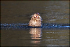 Otter (image 2 of 2) (Full Moon Images) Tags: wildlife nature animal mammal river sunrise dawn wild otter