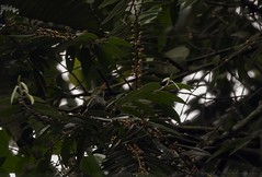 20180908-0I7A0862 (siddharthx) Tags: 2018 august2018 bwcpl badlight beautifulbirds bird birdwatching birding birdinginthewild birdsinthewild blackstone3stopnd blackstone6stopnd blackstonefilters breakthroughphotography breakthroughphotography2stopgnd breakthroughphotography3stopgnd breakthroughphotographyfilter canon canon7dmkii closerange cottoncarrierg3 dawn dawntilldusk ef100400f4556isii ef100400mmf4556lisiiusm ef1635f4lis foggylens forest goldenhour hide humid kesslerkwik lowlight my malaysia novoexplora novoexploramp20 novomonopod pristine promediageartr424lpmgprostix rainforest sachtlerfsb8t sunrise sunset toughlight trek weekendtrips wild wildbirds wildlife winecountrycamera winecountrycameracpl winecountrycamerafilters wildlifewildlifeperfectionwildlifecaptureswildlifephotographyanimalfanaticswildlifeseekersnaturephotographywildlifephotographynatgeowildwildlifeinspiredwildlifecentral darkthroatedoriole oriole female