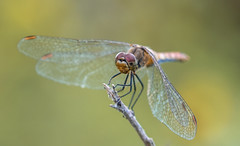 Dragonfly (Torok_Bea) Tags: dragonfly szitakötő natur nature macro bokeh wildanimal animals nikon nikond7200 d7200 color wild sigma sigma105 sigma105mm sigmalens insect