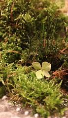 green nature (Chrischi M.) Tags: green macromonday macromondays