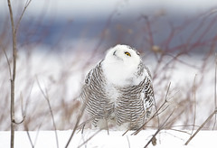 Snowy owl watching the crows above (Jim Cumming) Tags: snowyowl nature wildlife winter snow avian canada beauty