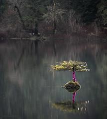 Bonsai (Lisa Ouellette) Tags: log bonsaioffairylake tree resilient forest water fairylake lake serendipity portrenfrew britishcolumbia bonsai submerged relocating home
