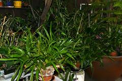 Miltonia clowesii 'Diego' spikes 10-18 (nolehace) Tags: fall nolehace sanfranciso fz1000 1018 flower bloom plant miltonia clowesii diego spike cultivar
