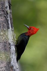 Magellanic Woodpecker | magellanspett | Campephilus magellanicus (Daniel.Pettersson) Tags: aves birds bird fåglar fågel argentina argentinachile2018 campephilusmagellanicus magellanicwoodpecker magellanspett