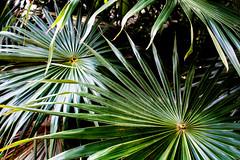 Mexico, Tulum (keeswoestenenk2) Tags: 2018 boom jaar mexico natuur palm plaats tulum