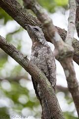 Greater Potoo (Ed.Stockard) Tags: bird potoo greaterpotoo pantanal matogrosso brazil cuiaba sill quiet camoflague