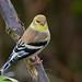 American Goldfinch (Waspane) Tags: americangoldfinch sony sigma