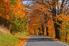 colours of the autumn (JoannaRB2009) Tags: branná staréměstopodsněžníkem czechrepublic path road autumn fall colours golden yellow copper maple sycamore alley avenue sunny nature tree trees