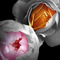 Peony & Rose (Pixel Fusion) Tags: nature nikon flora flower aperture macro d600 photoshop peony rose