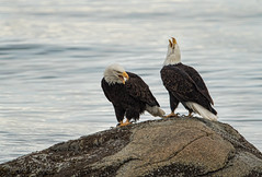 ND5_6526 Pair on QB Rock (Wayne Duke 76) Tags: eagle mature bird raptor rock ocean feathers