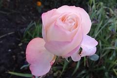 November Rose (Gartenzauber) Tags: ngc coth npc coth5 alittlebeauty fantasticnature floralfantasy