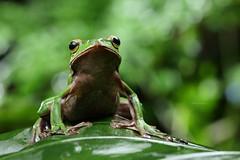 2J4A8092 (ajstone2548) Tags: 12月 樹蛙科 兩棲類 翡翠樹蛙