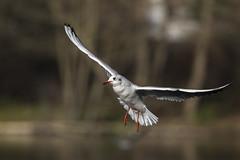 En vol - In flight (bboozoo) Tags: oiseau bird nature animal wildlife mouette seagull bif bokeh profondeurdechamp canon6dii canon100400 lac lake