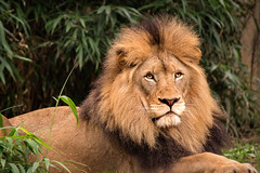 The King 3-0 F LR 10-7-18 J112 (sunspotimages) Tags: lion lions malelion malelions nature wildlife zoo zoos nationalzoo fonz fonz2018