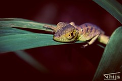 Lizzard at night (Thijs de Groot Photography) Tags: lizzard nature thijsdegroot thysson foto fotografie fotograaf green