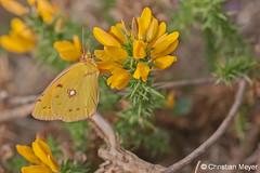 2011.08.19 - 1156 - Souci Rivière du Vincin © (chmeyer51) Tags: insecte papillon souci lépidoptère pieridae coliadinae coliascroceus