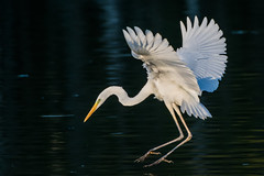 Great egret (JS_71) Tags: nature wildlife nikon photography outdoor 500mm bird new see natur pose moment outside animal flickr colour poland sunshine beak feather nikkor d7500