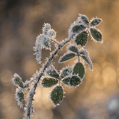 Un charme piquant *-*-- ° (Titole) Tags: frost leaves thorny titole nicolefaton brambles sunlight storybookwinner