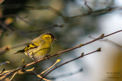 Erlenzeisig (hirngespinste) Tags: erlenzeisig garten vogel copyright 2018 norbertkurzka nikond7200 70200mmf28