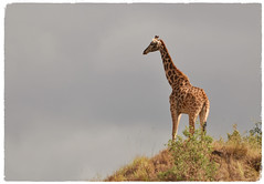 """They Can't Get Me Up Here"" (The Spirit of the World ( On and Off)) Tags: endangeredspecies endangered africa tanzania arushanationalpark sunlight hill foliage safari eastafrica nature wildlife wilderness gamereserve gamedrive tall"