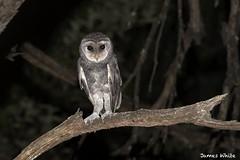 Greater Sooty Owl (Jims Wildlife) Tags: greatersootyowl owl bird australia tytotenebricosa