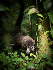 Coati (wwarby) Tags: centralamerica costarica abroad animal coati holiday holiday2018costarica mammal outdoors plant rainforest vacation wild wildlife