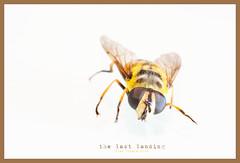 the wasp_DSC1363 copia (Pino Vitale) Tags: wasp macro vespa insetto insect dead morto last landing ultimo atterraggio