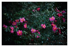 2018/11/25 - 7/21 photo by shin ikegami. - SONY ILCE‑7M2 / Voigtlander NOKTON CLASSIC 40mm f1.4 SC VM (shin ikegami) Tags: 山茶花 flower 花 井の頭公園 吉祥寺 autumn 秋 sony ilce7m2 sonyilce7m2 s7ii 40mm voigtlander nokton nokton40mmf14sc tokyo photo photographer 単焦点 iso800 ndfilter light shadow 自然 nature 玉ボケ bokeh depthoffield naturephotography art photography japan earth asia