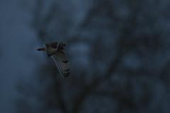 Blue hour (Chris Bainbridge1) Tags: asioflammeus shortearedowl in flight cambridgeshire fens