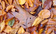 A smile on my path (farmspeedracer) Tags: november foliage leaf friend leaves nature 2018