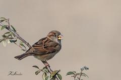 Moineau domestique (sfrancois73) Tags: oiseau jardin affût drinkstation moineaudomestique