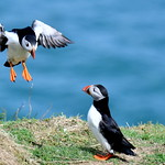 04/12/2018 - PDI. League 3.. just Puffin Around by Peter Budd