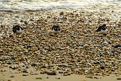 Turnstones (ianbartlett) Tags: 365 outdoor wildlife nature birds flight monochrome sea sand water dogs groynes drone landscape light colour seal