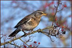 Fieldfare (image 3 of 4) (Full Moon Images) Tags: rspb fen drayton lakes wildlife nature reserve cambridgeshire bird fieldfare