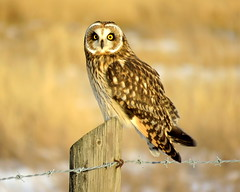 On the fence (diffuse) Tags: owl shortearedowl post fence wire barbed lateafternoon odc center