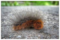 Caterpillar (FvdZ) Tags: caterpillar rups hairy harig