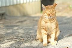 猫さん a cat (takapata) Tags: sony sel90m28g ilce7m2 neko cat 猫さん