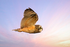 Short eared owl (Thy Photography) Tags: goldenlight goldenhour haywardshoreline owl shortearedowl raptor wildlife animal nature outdoor backyard california bird sunrise sunset dawn dusk sunshine thyphotography