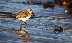 Dunlin. (Chris Kilpatrick) Tags: chris canon canon7dmk2 sigma150mm600mm sigma outdoor nature wildlife beach bird animal november dunlin douglas isleofman