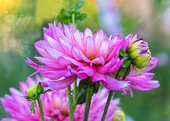 Dahlias (mclcbooks) Tags: flower flowers floral dahlia dahlias macro closeup drops droplets dew petals pink denverbotanicgardens colorado
