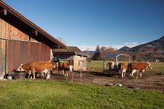 Bauernhof (Obachi) Tags: berchtesgarden flickr schönauamkönigssee tiere kühe