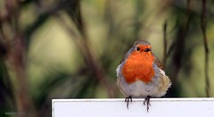 J78A0001 (M0JRA) Tags: robins rspb birds animals walks people trees water ponds fields