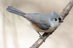 Tufted Titmouse. (tresed47) Tags: 2018 201811nov 20181128chestercountybirds birds canon7dmkii chestercounty content fall folder home november pennsylvania peterscamera petersphotos places season takenby tit us ngc