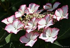Thursday`s  Flower (Eleanor (No multiple invites please)) Tags: flower lacecaphydrangea hydrangea garden stanmore uk nikond7200 june2018