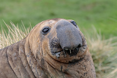 I'm so handsome! (Linda Martin Photography) Tags: southgeorgia southatlanticocean elephantseal nature southernelephantseal animal wildlife miroungaleonina male oceanharbour naturethroughthelens alittlebeauty coth ngc coth5 npc