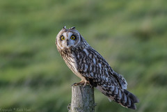 Short Eared Owl - (Asio flammeus) - 'Z' for zoom (hunt.keith27) Tags: talons bird feathers wings quartering asioflammeus shortearedowl owl eyes beautiful magnificent medium sized owls pale underwings yellow mammals especially voles animal canon grass sky somerset sigma post perched