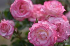 Rose 'Nicole ' raised in Germany (naruo0720) Tags: rose germanrose nicole germanrosescollection バラ ドイツのバラ ニコール ドイツのバラコレクション nikoncamera sigmalenses d810 sigma105mmf28exdgoshsm