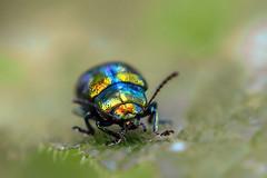 Rainbow beetle (Wim Koopman) Tags: beetle insect rainbow dof macro colors details