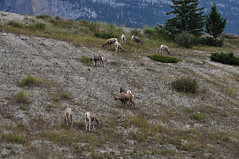 BNP_011 (Kerri M.) Tags: banffnationalpark nationalparks canadaparks bighornsheep wildlife canadianrockies